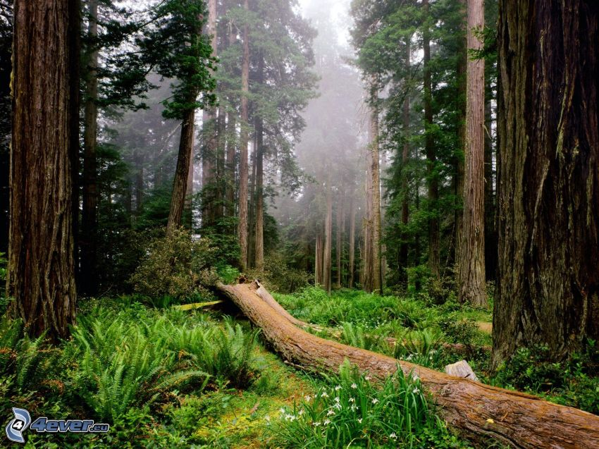 Redwood National Park, Kalifornia, plemię, las, ogromne drzewa, paprocie