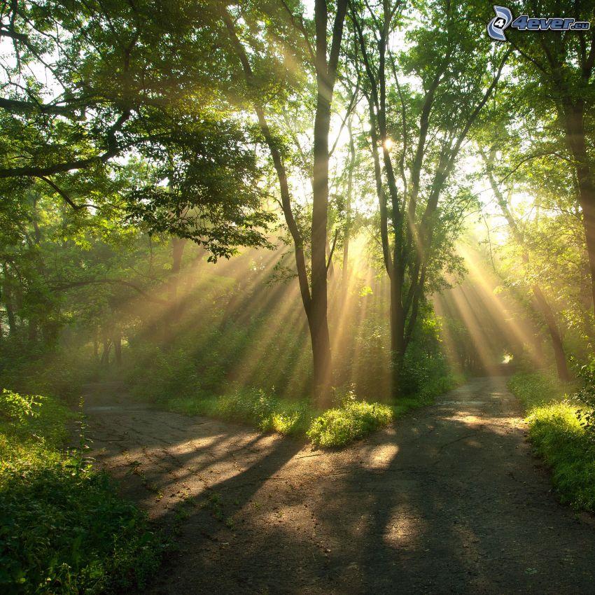 rozdroże, słoneczne promienie, w lesie, zieleń