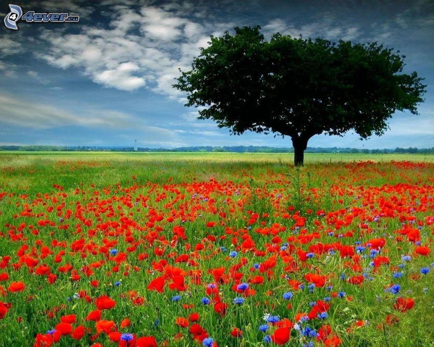 samotne drzewo, mak, łąka