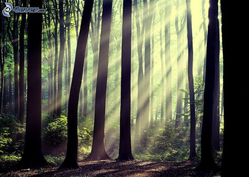 słoneczne promienie, w lesie