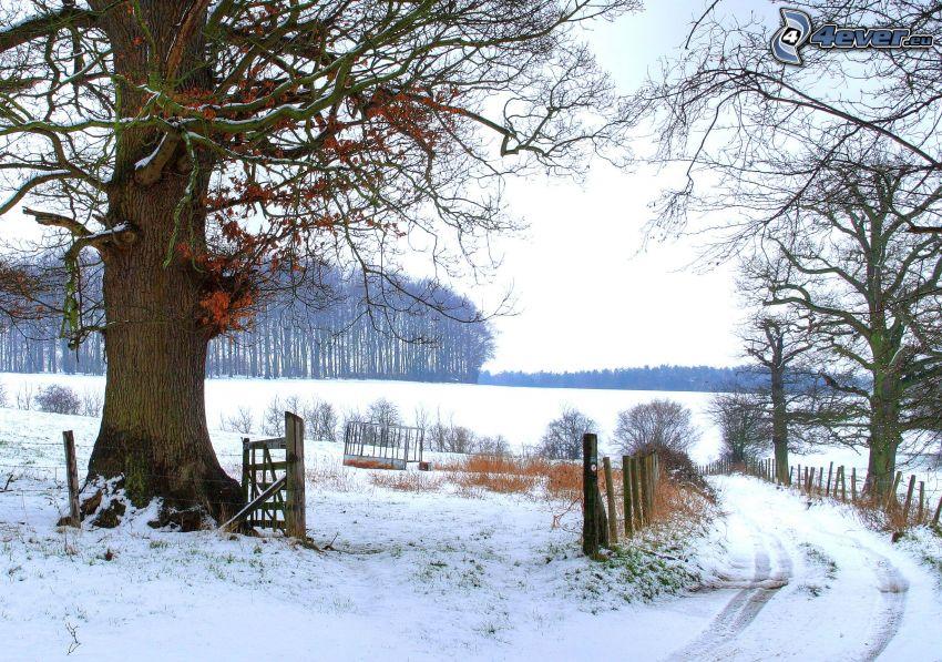 śnieżny krajobraz, Anglia, ogromne drzewo, polna droga, zaśnieżona droga, płot, las, śnieg