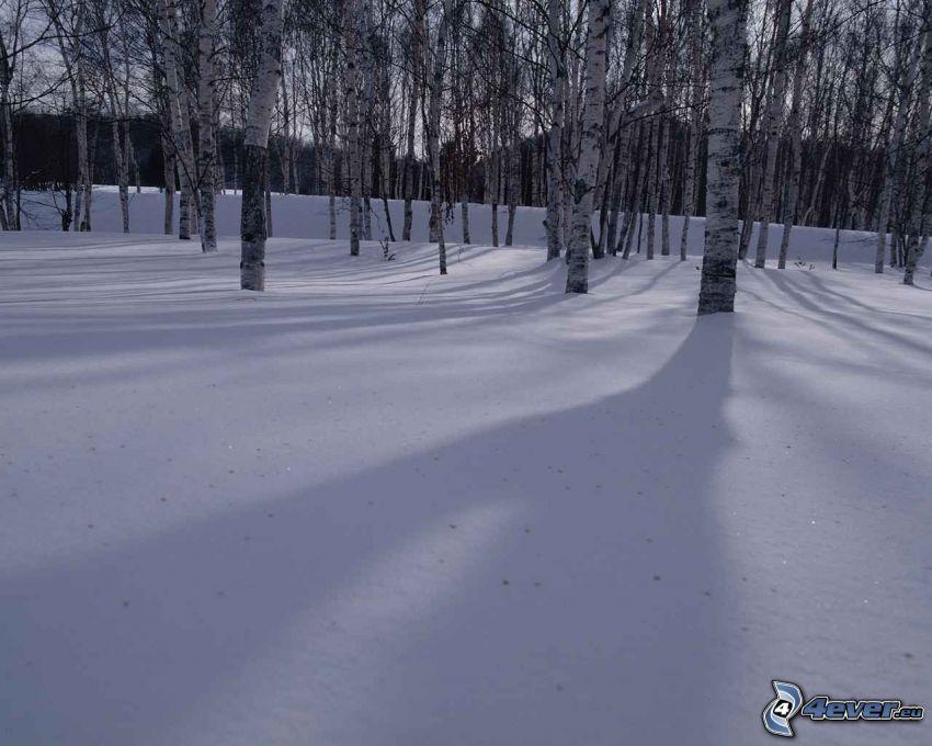 zamarznięte brzozy, las brzozowy, śnieg, drzewa, przyroda