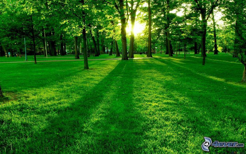 zielona trawa, park, zachód słońca za drzewem, cień drzewa