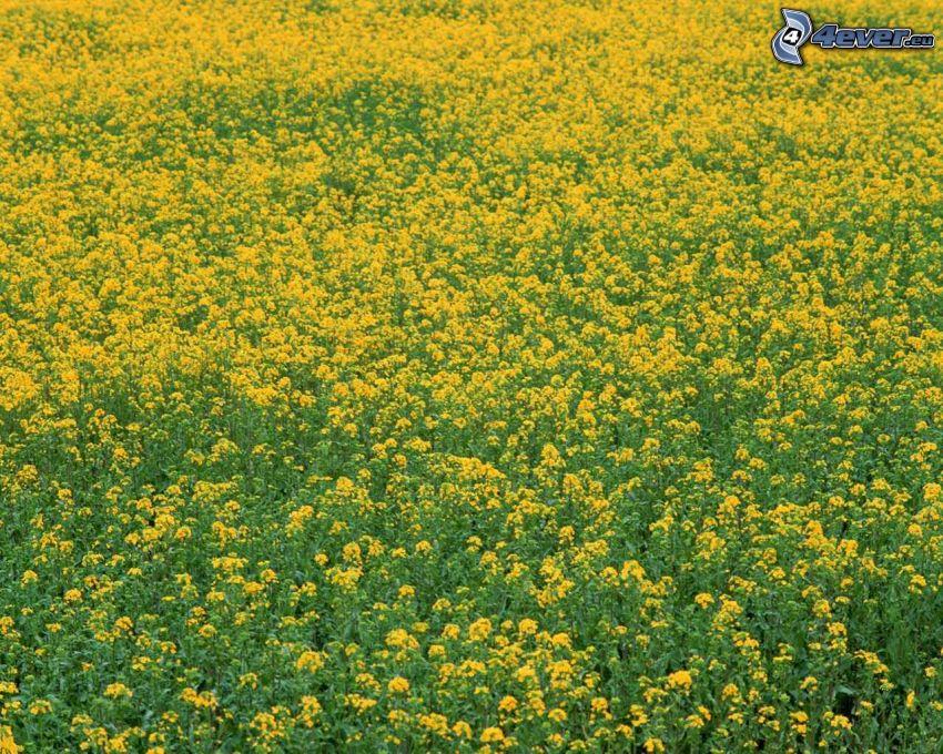 żółte kwiaty, letnia łąka, pole
