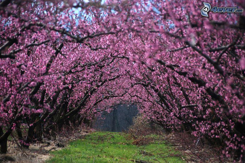 kwitnące drzewa, fioletowe drzewa