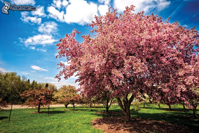 kwitnące drzewa, płot