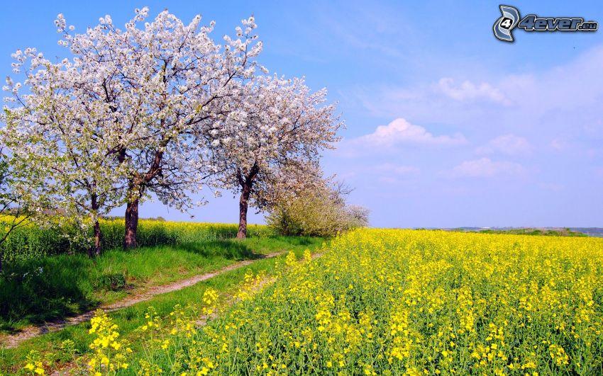 kwitnące drzewa, pole, rzepak, polna droga