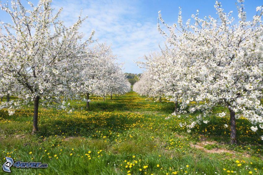 kwitnące drzewa, sad, mlecze