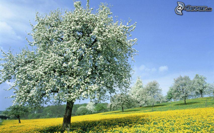 kwitnące drzewa, żółta łąka