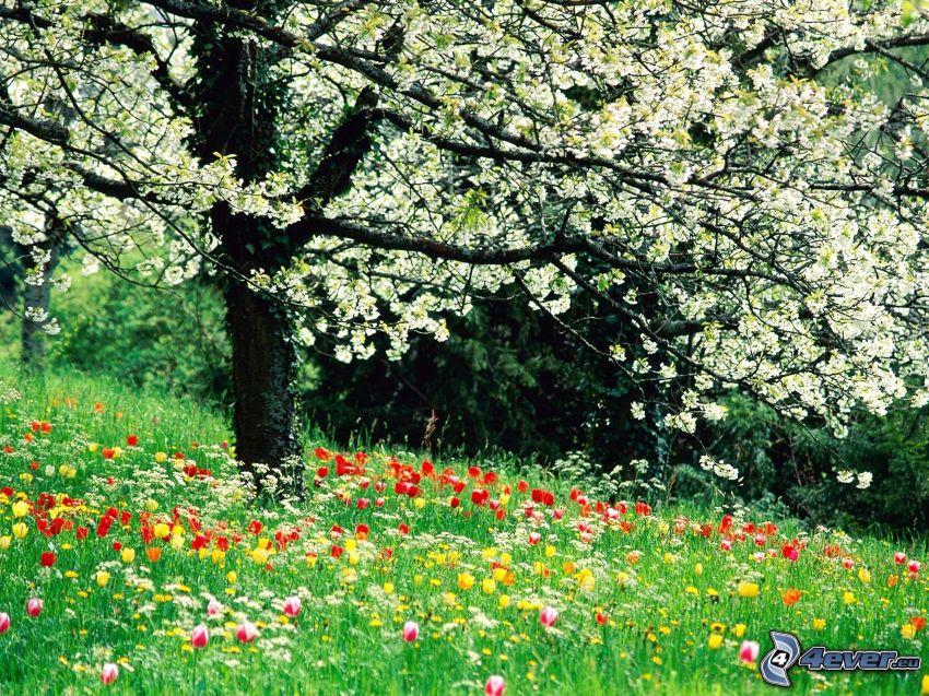 kwitnące drzewo, łąka, tulipany