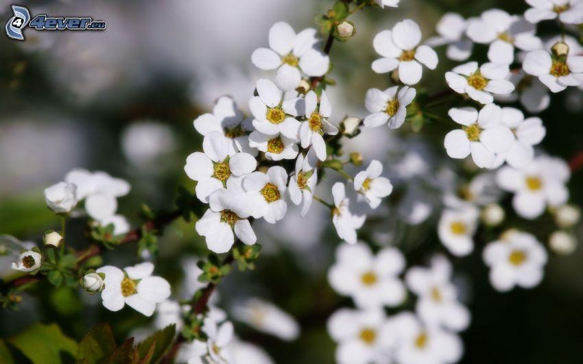 kwitnące gałązki, białe kwiaty