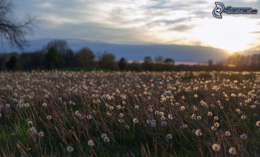 łąka, dmuchawce