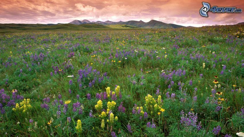 łąka, pasmo górskie, polne kwiaty