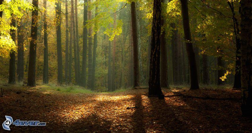 las, drzewa, promienie słoneczne