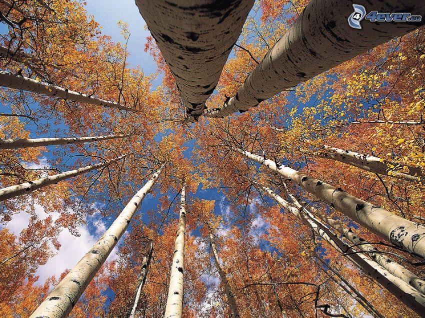 las brzozowy, żółte liście