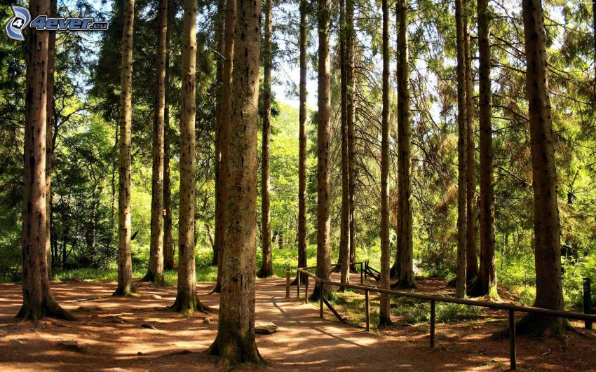 las bukowy, leśna droga