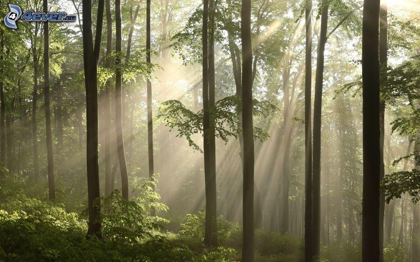 las bukowy, słoneczne promienie, w lesie