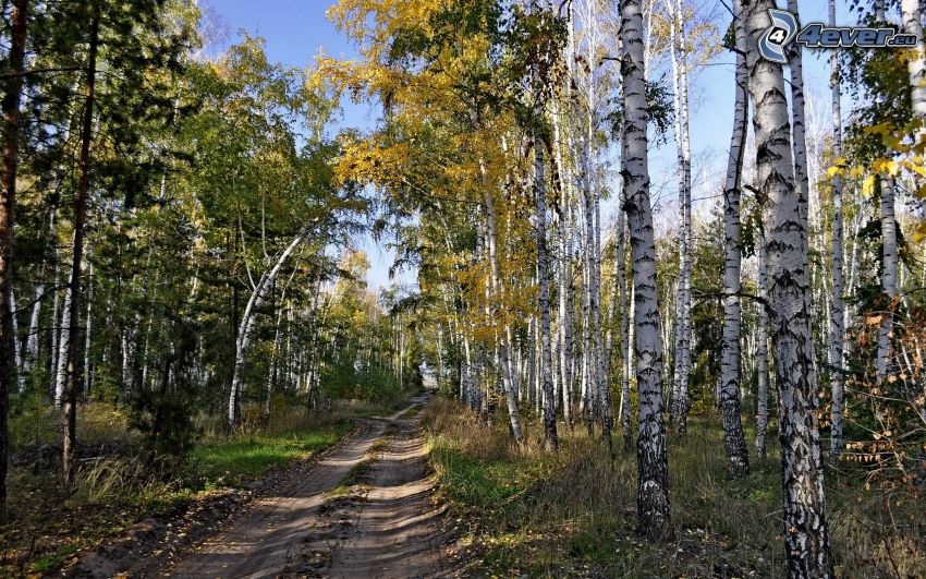 leśna droga, jesienne drzewa, brzozy