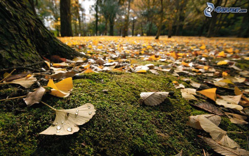 miłorząb dwuklapowy, opadnięte liście
