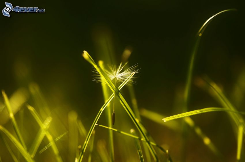 nasiona mlecza, źdźbła trawy