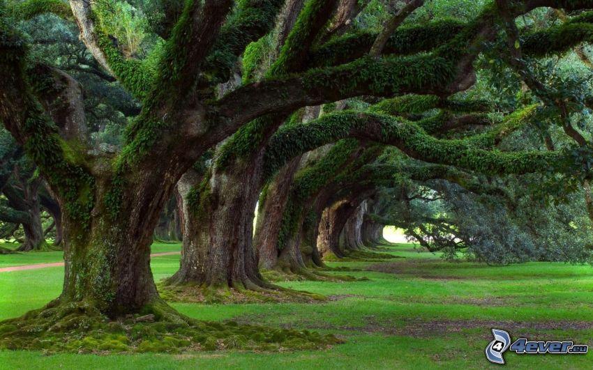 ogromne drzewa, aleja drzew, trawnik, park
