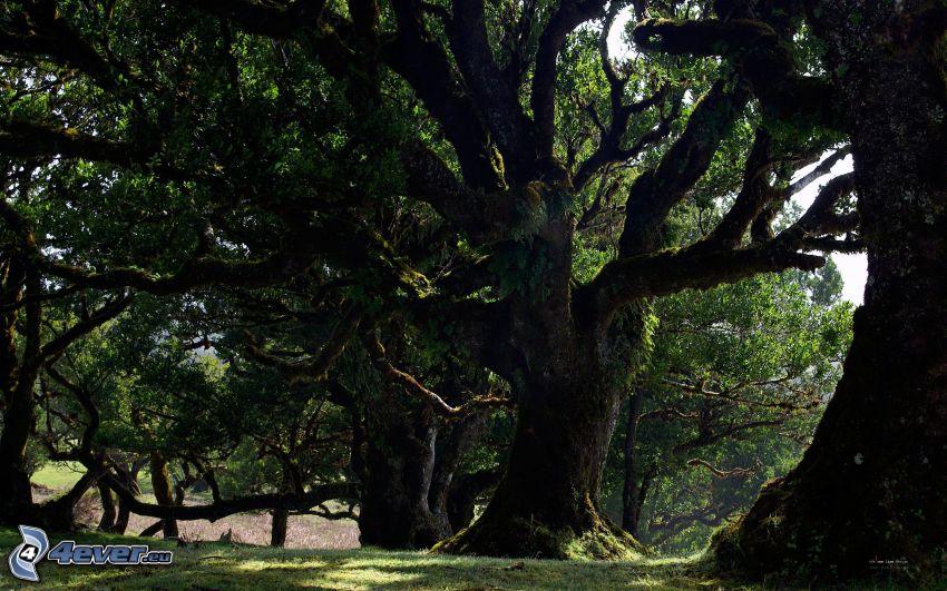 ogromne drzewa