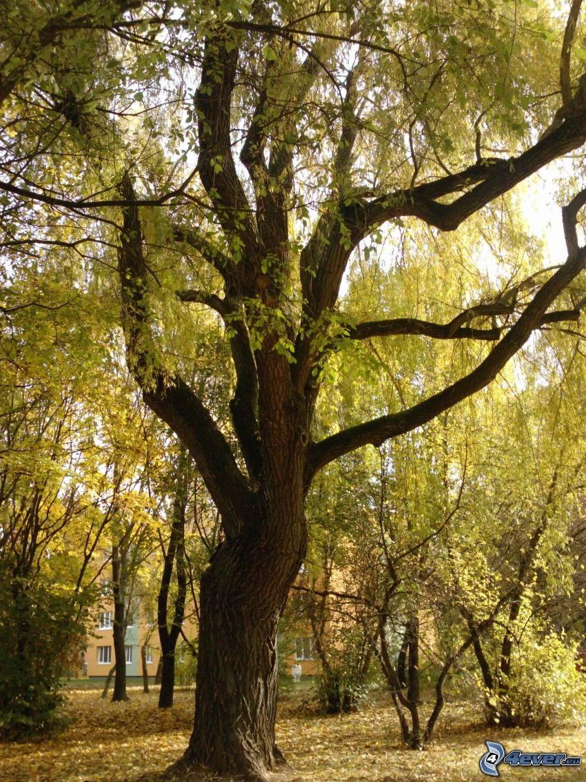 ogromne drzewo, suche liście, konary, Drzewa w parku, blok mieszkalny