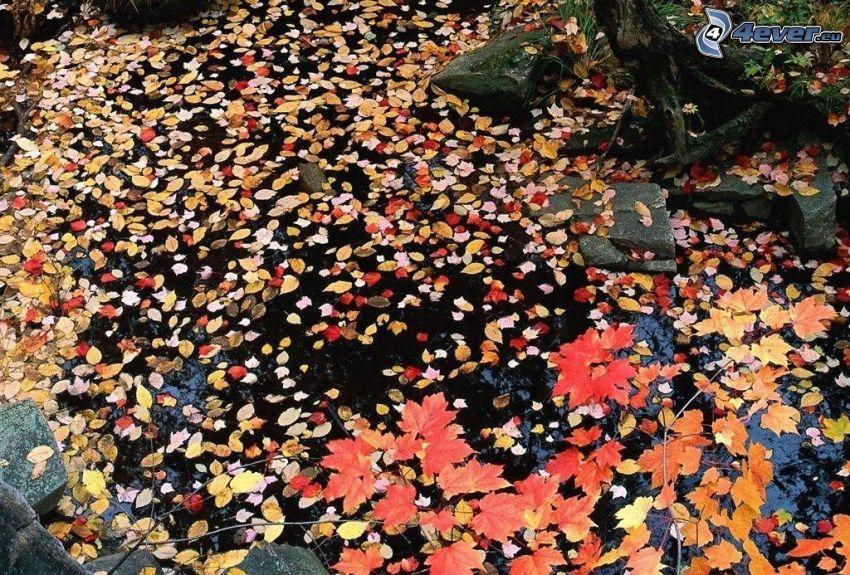 opadnięte liście, kolorowe liście, woda