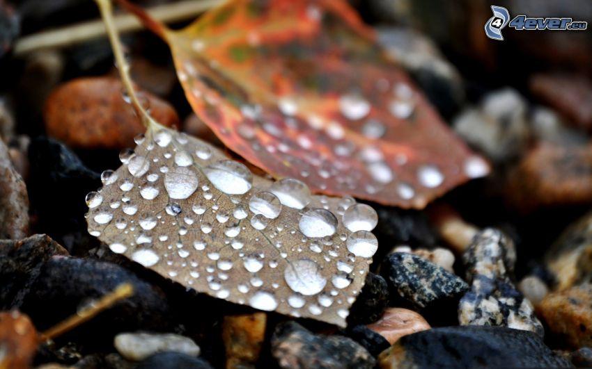 opadnięte liście, krople wody, makro