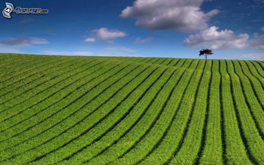 pole, samotne drzewo, chmury