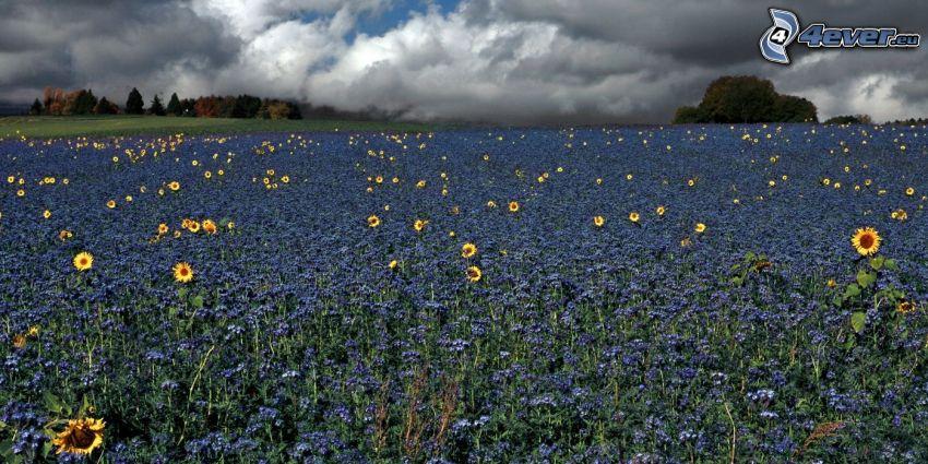 pole, słoneczniki, niebieskie kwiaty