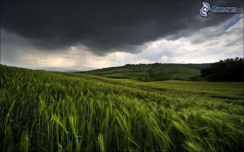 pole pszenicy, ciemne chmury