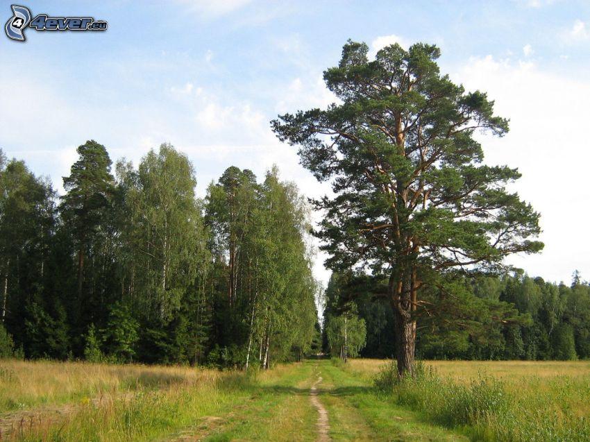 polna droga, las, drzewa, łąka