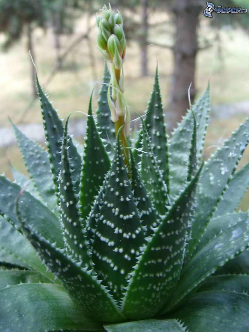 Aloe aristata, kwiat