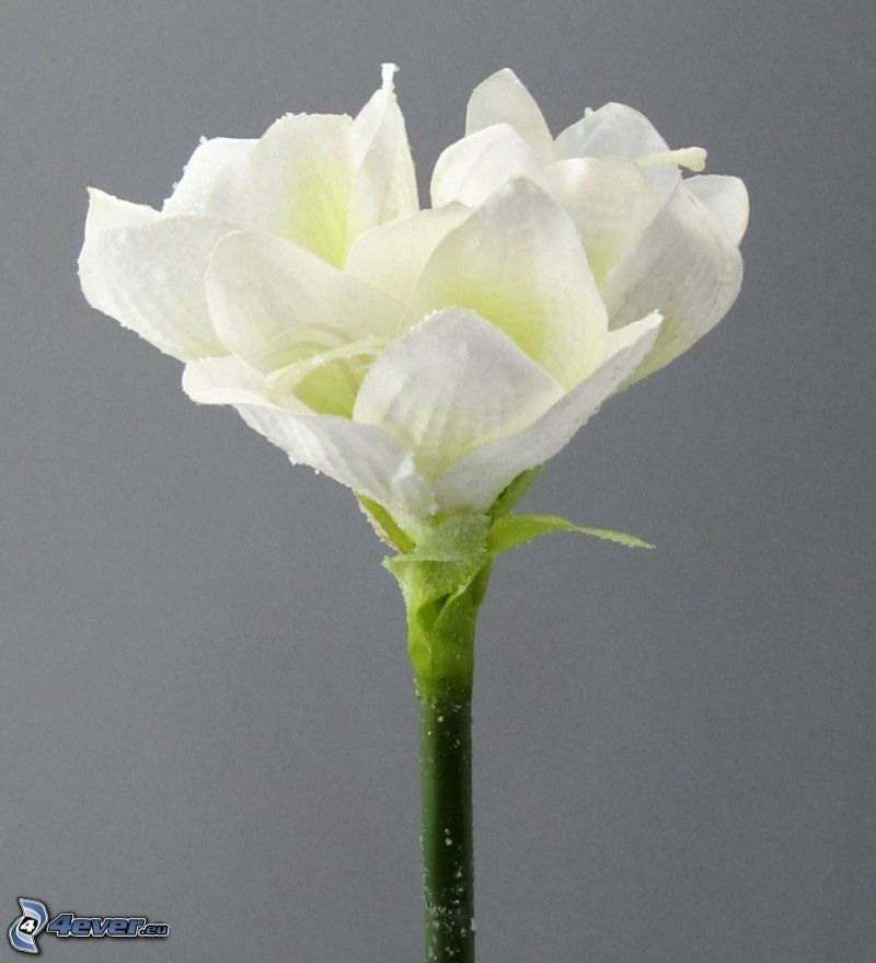 Amarylis, biały kwiat