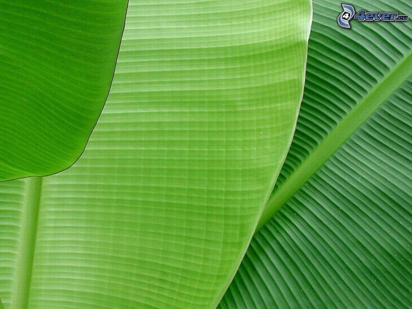 bananowiec, zielone liście