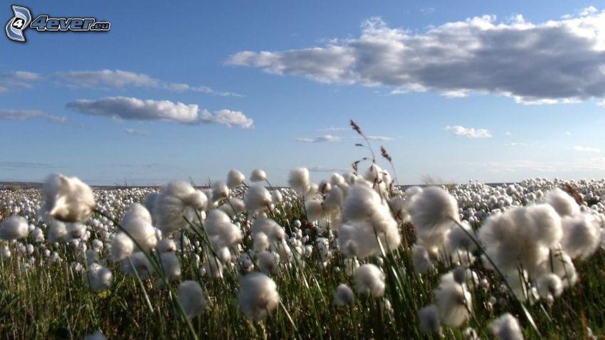 bawełna, chmury