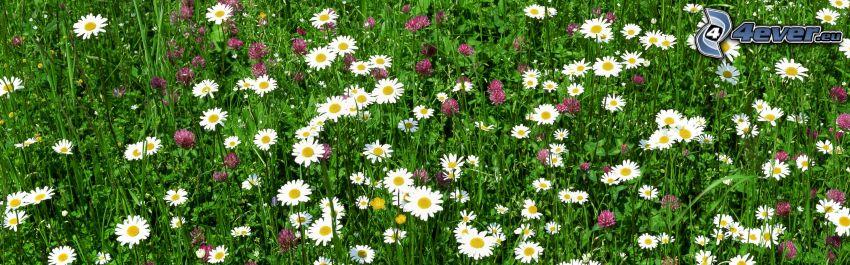 białe kwiaty, koniczyna, trawa