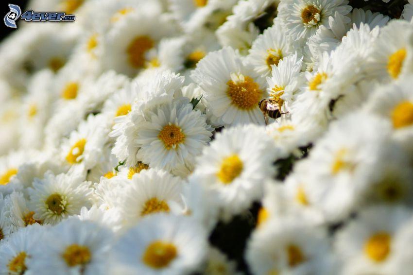 białe kwiaty, pszczoła