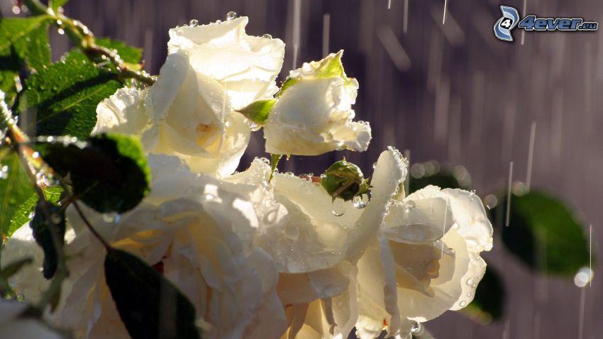 białe róże, deszcz