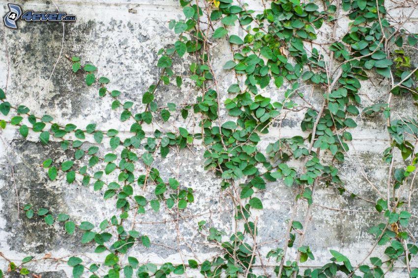 bluszcz, ściana
