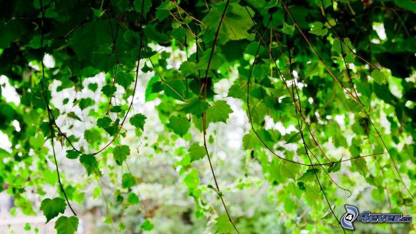 bluszcz, zielone liście