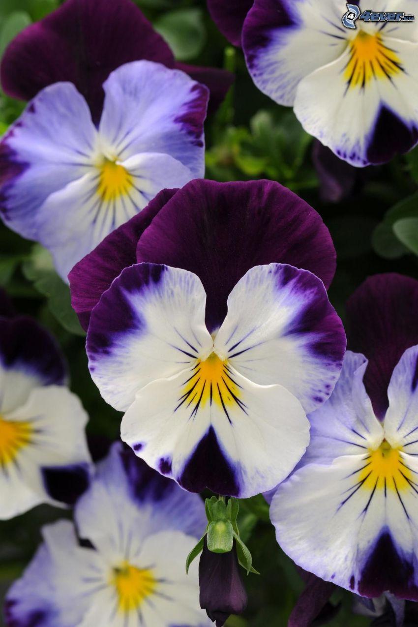 bratki, białe kwiaty, fioletowe kwiaty