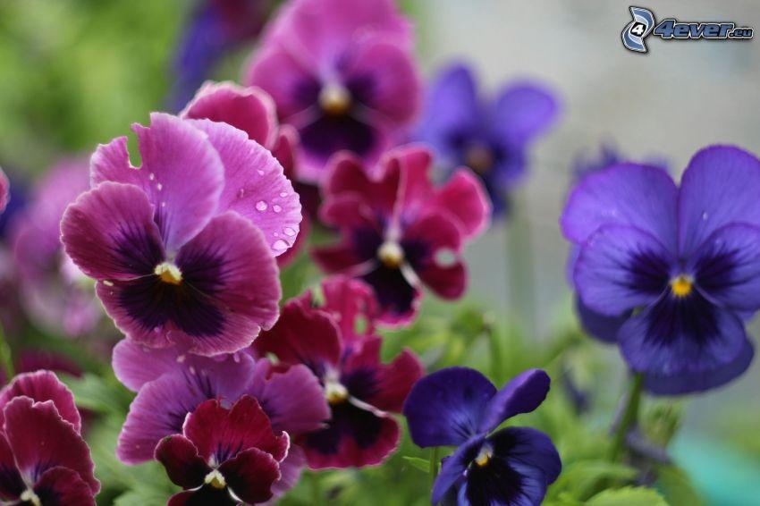 bratki, fioletowe kwiaty, czerwone kwiaty