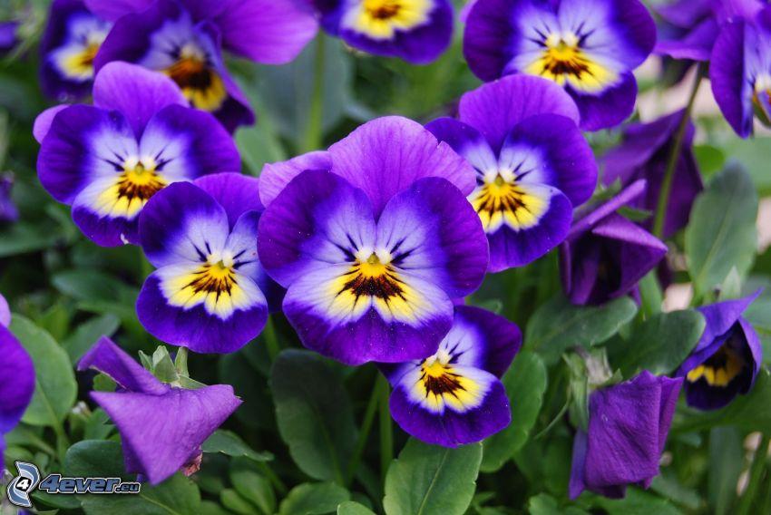 bratki, fioletowe kwiaty, zielone liście