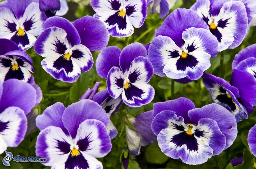 bratki, fioletowe kwiaty