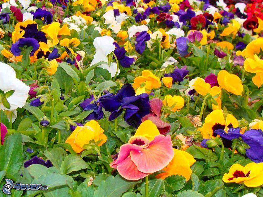 bratki, kolorowe kwiaty, zielone liście