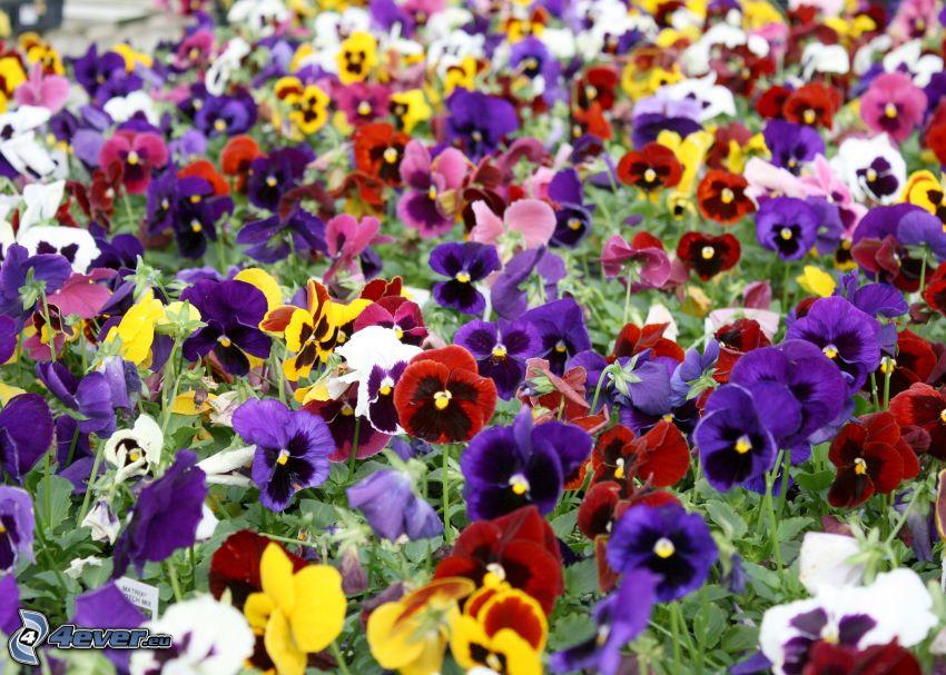 bratki, kolorowe kwiaty