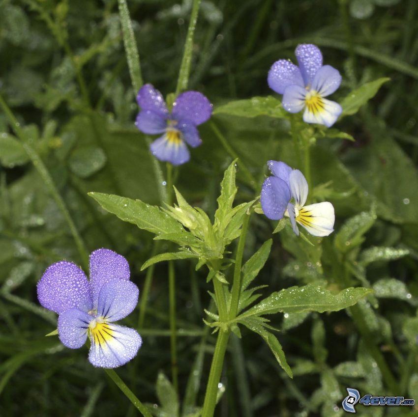 bratki, niebieskie kwiaty, źdźbła trawy