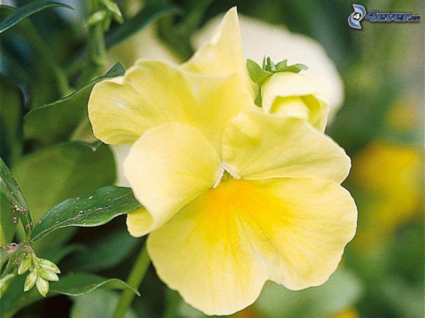 bratki, żółty kwiat